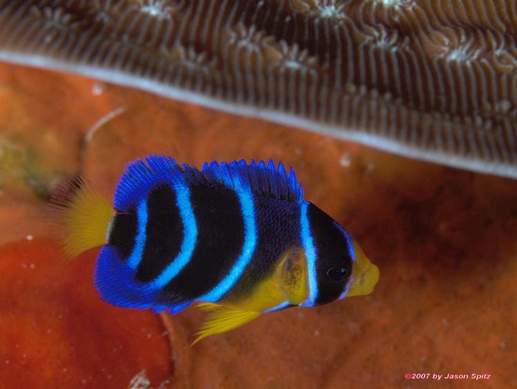 Juvenille Blue Angelfish