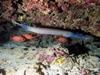 Trumpet Fish at Angler`s Reef Maunalua Bay