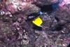 Butterfly Fish at Manana (Rabbit) Island - Oahu