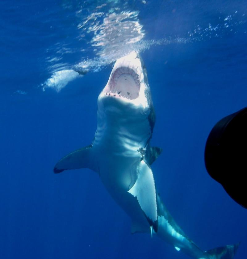 Such an awesome sight! Great White - Oct 2009