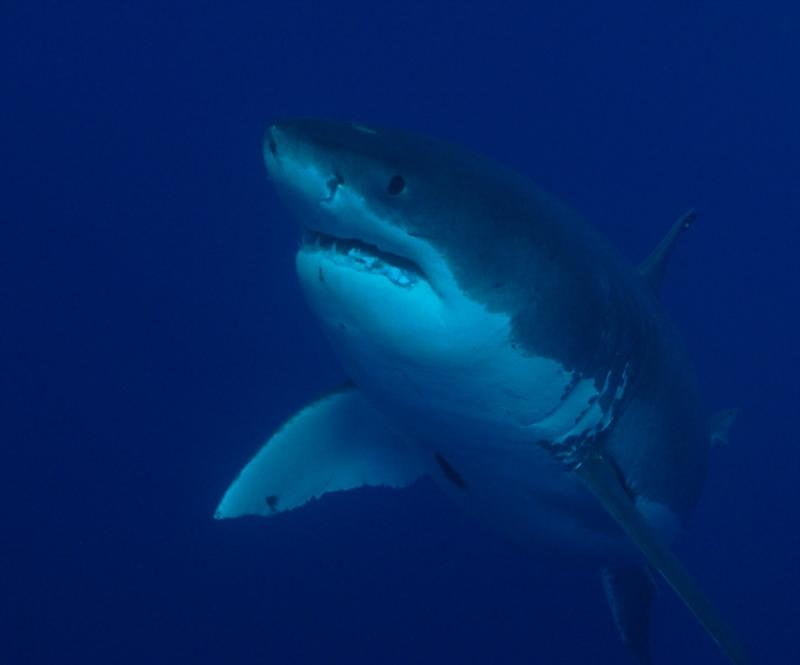 Great White at 40ft.  Oct 2009