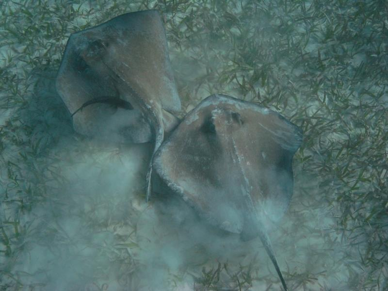 Two stingray s at Shark Ray Alley,  Belize Dec 2009