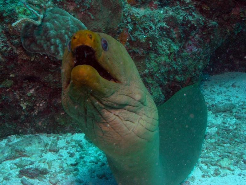 Big Green Moray.  This guy is at leat 6ft long!  Belize Dec 2009