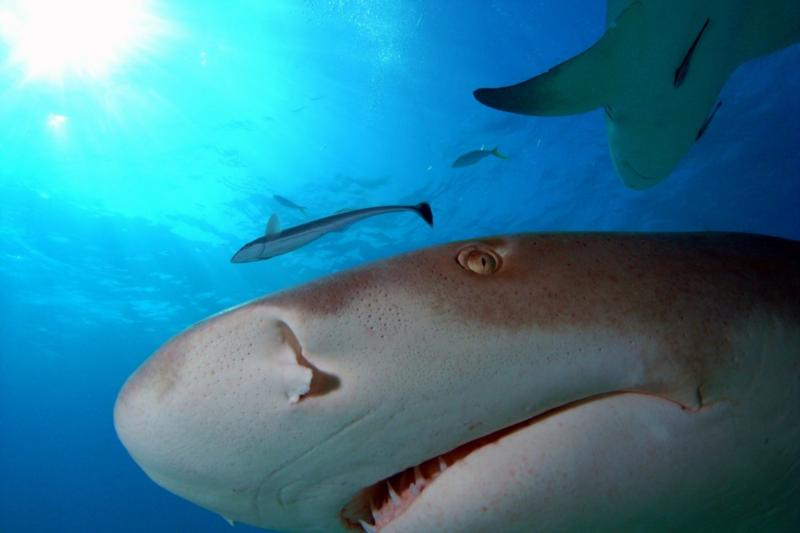 Up close with a Lemon shark, Bahamas Feb 2010