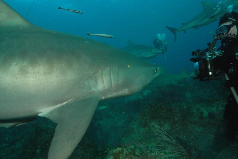 "Tiger shark saying ""Cheese""  Bahamas Feb 2010"