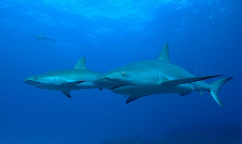 Two Caribbean Reef sharks, Bahamas Feb 2010