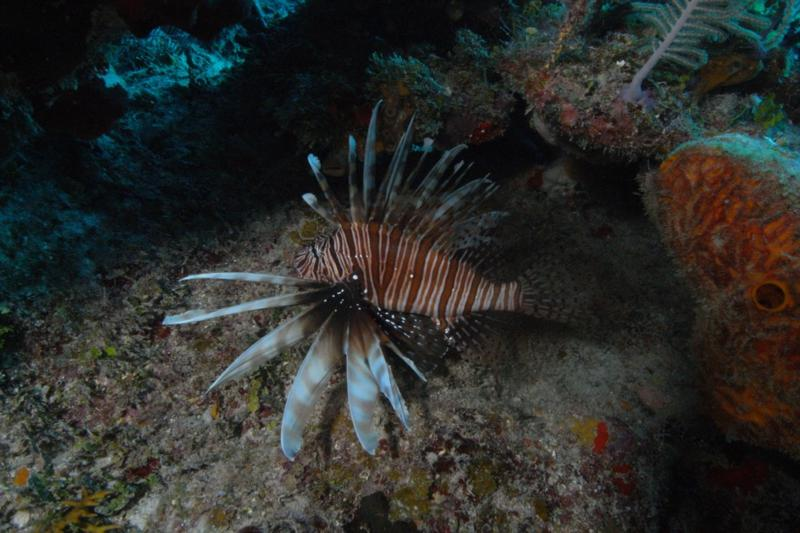 Lion Fish.  These predators are decimating the Bahama Reefs.  Bahamas Feb 2010