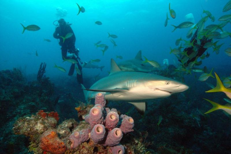 Reef shark, sponges and diver.  Bahamas Feb 2010