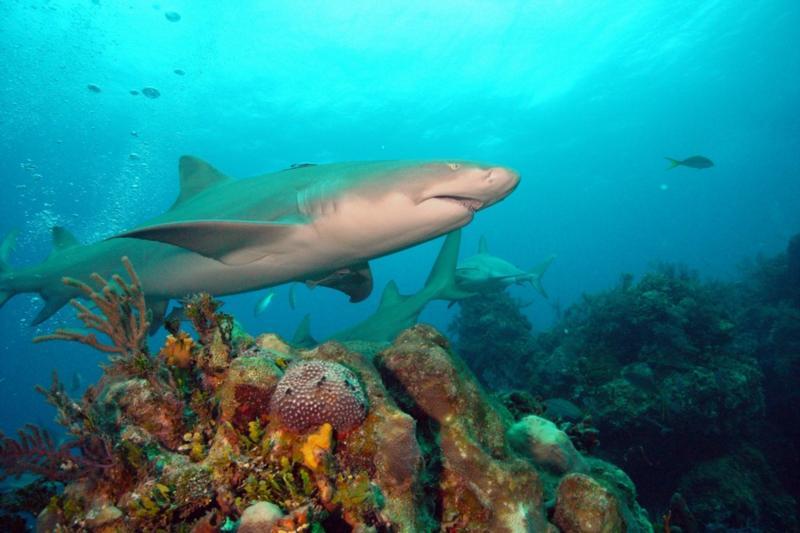 Lemon shark and corarls.  Bahamas Feb 2010