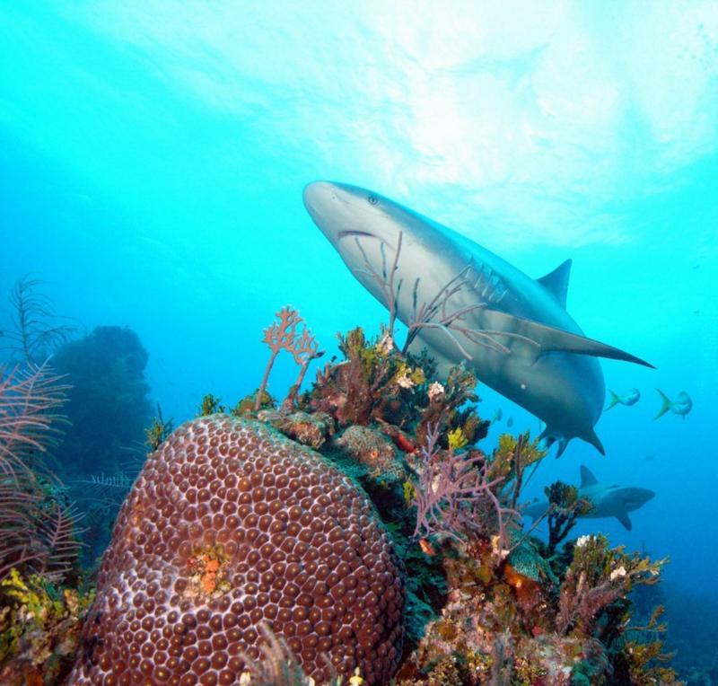 Reef shark with corals.  Bahamas Feb 2010