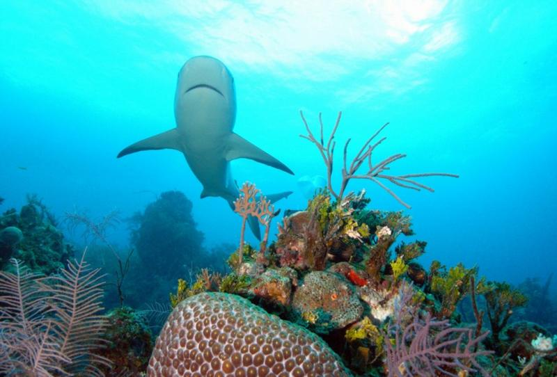 Reef shark with corals.  Bahamas Feb 2010