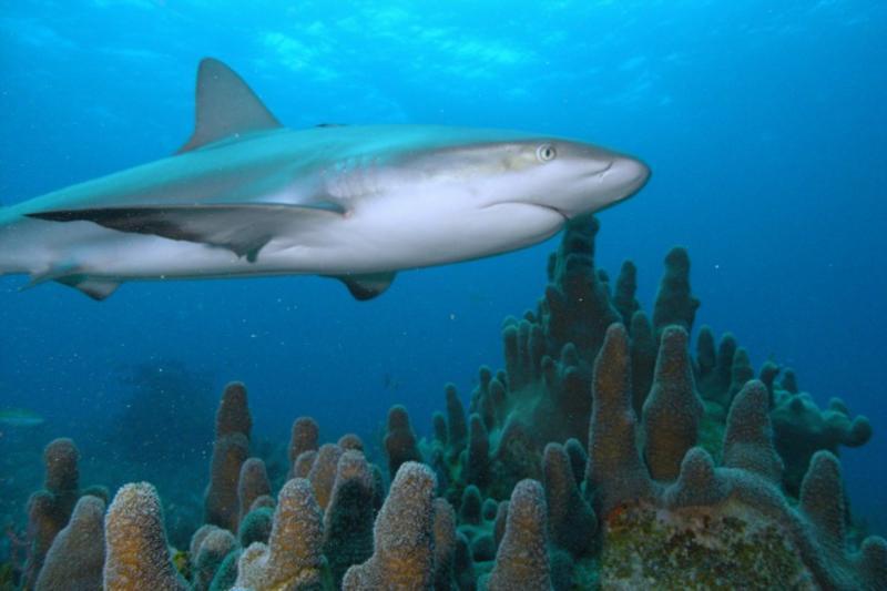 Reef shark with Pillar coral.  Bahamas Feb 2010