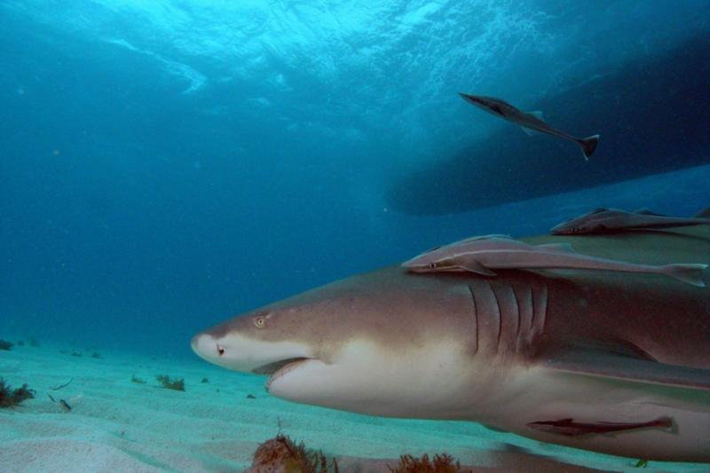 Lemon shark with boat.  Tiger Beach Bahamas.  Feb 2010