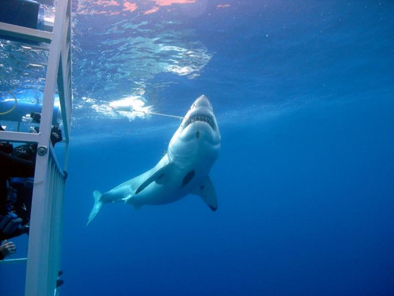 Great White crusin' the cages and checking out the bait