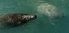 Manatees Key West Brackish Waters