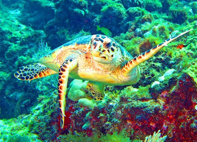Waiving Turtle-Isla Majures, Mexico