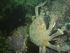 A sheep crab we spotted.