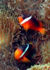 anenome fish-Fiji