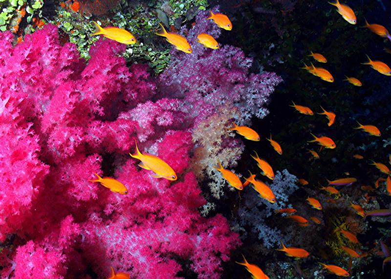 Fiji soft corals