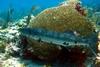 barracuda and brain coral in Cancun Mexico