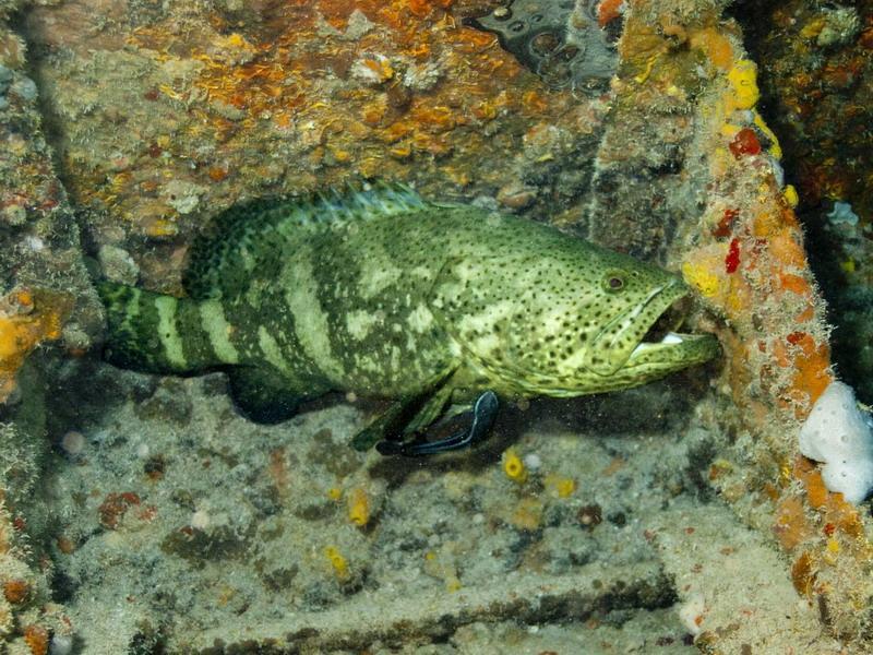 Marathon Florida, Jewfish (Grouper)
