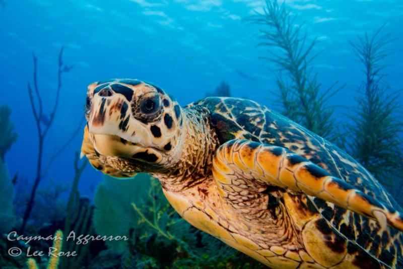 Sea Turtle - Cayman Islands