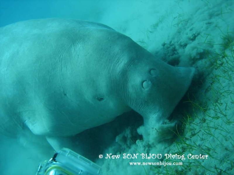 Sea Cow - Dugong