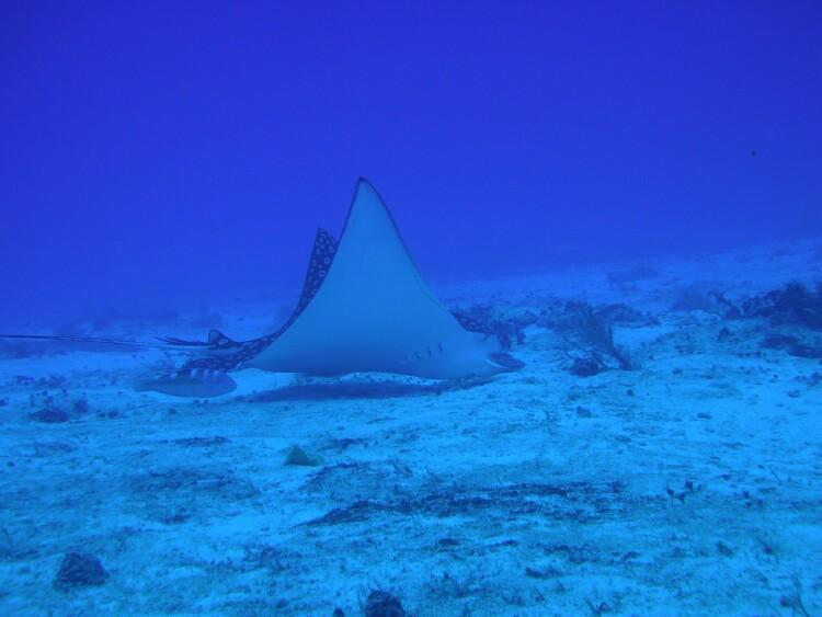 Spotted Eagle Ray in Cozumel