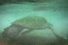 Hawaii_Turtle_2