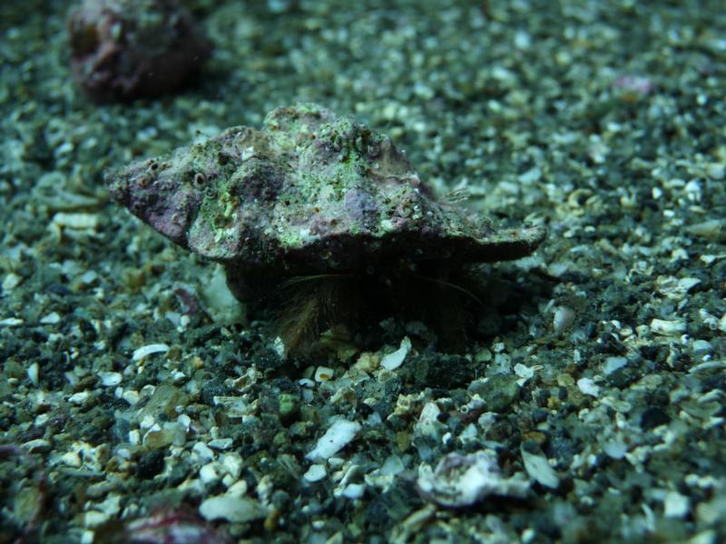 little hermit crab i found