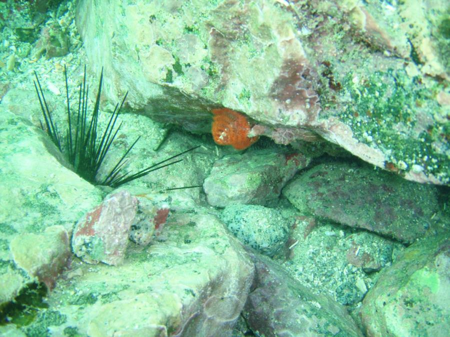 Christamas Tree Worm and Sea Urchin, Sea of Cortez
