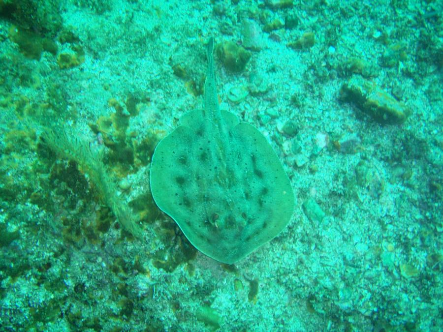 Bullseye Stingray, Sea of Cortez