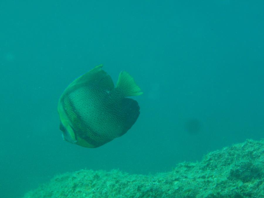 Cortez Angelfish, Sea of Cortez