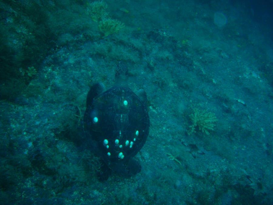 Sea Turtle, Sea of Cortez