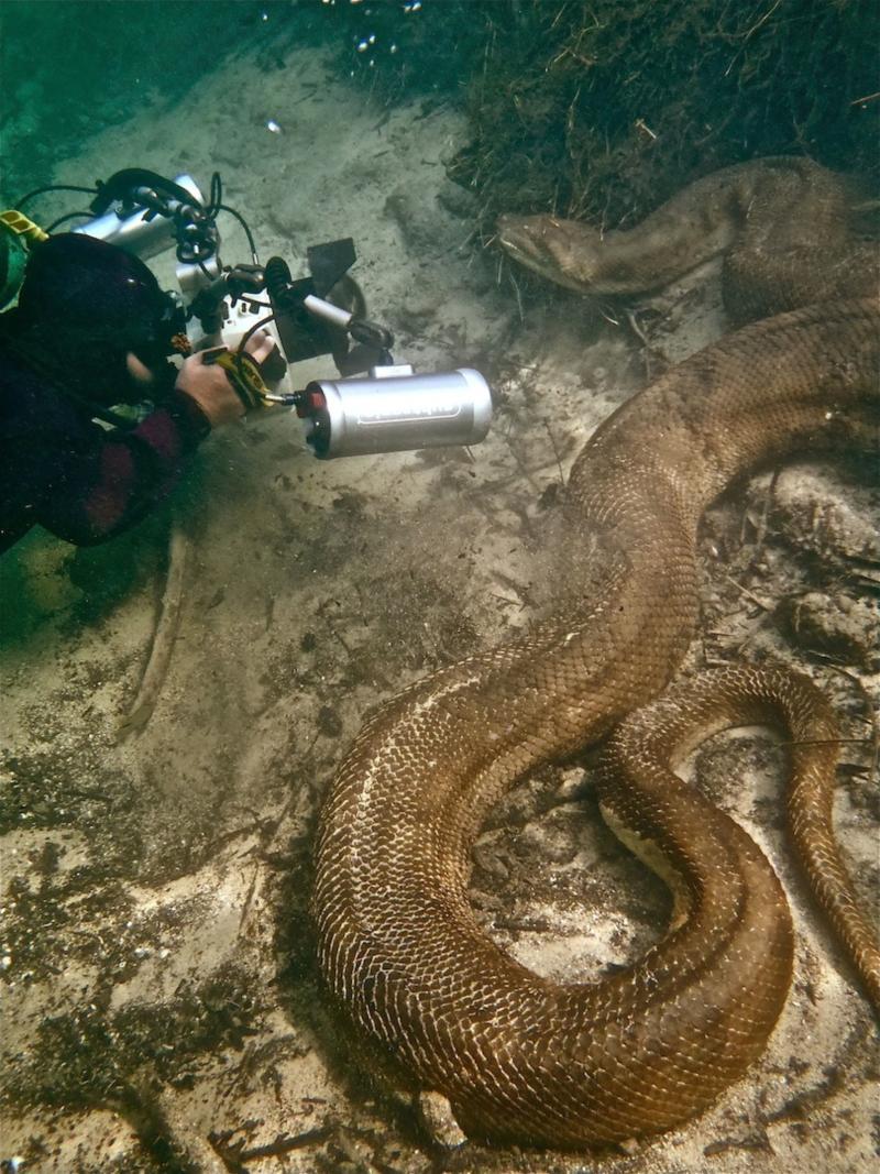 Diving with Anaconda in Brazil