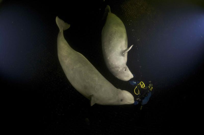 Beluga Sisters