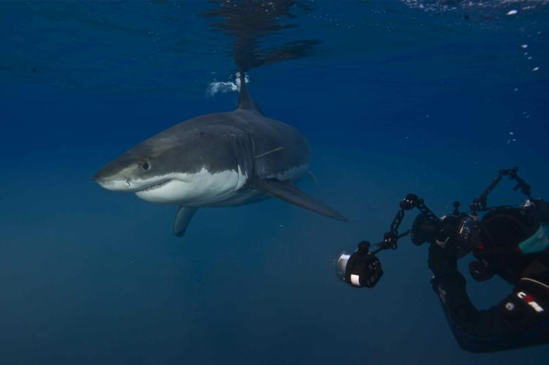 Out of Cage Dive with Great White Sharks