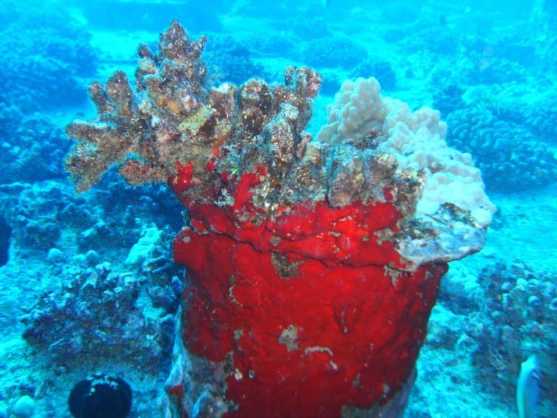 Coral on the Mahi