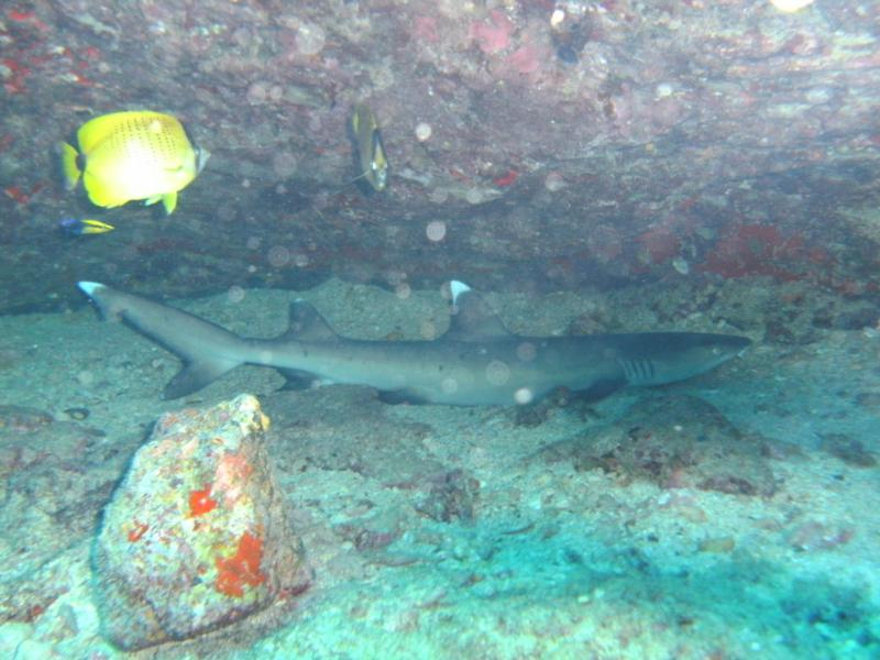 A Small White Tip Reef Shark, Oahu