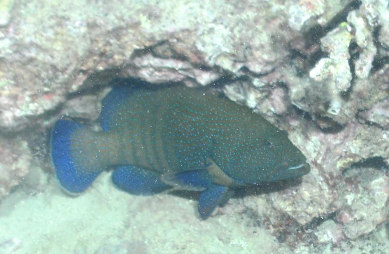 Peacock Grouper 04 SEP 10