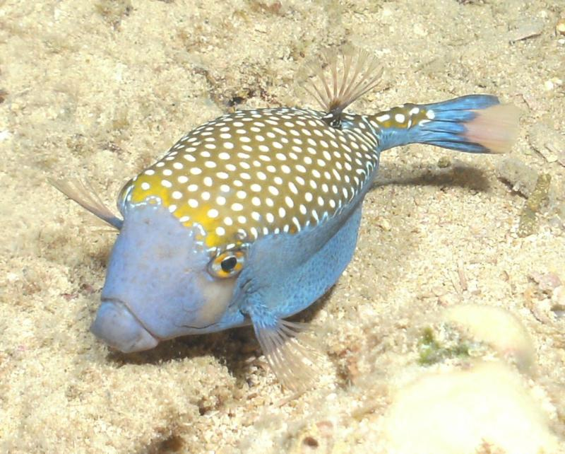 Male Spotted Trunkfish