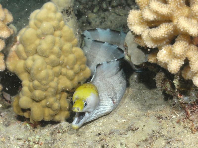 Yellowhead Eel
