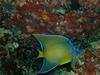 Angel Fish in the Bahamas