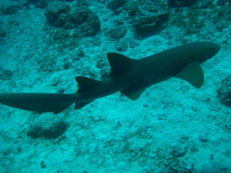 Cozumel - Jan 2008 - large nurse shark