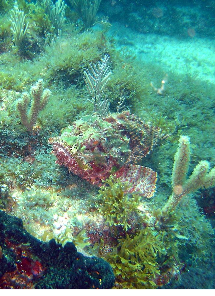Stone Fish Labandera reef Cozumel drift dive