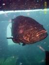 Giant Grouper - Twin Tugs - PCB FL