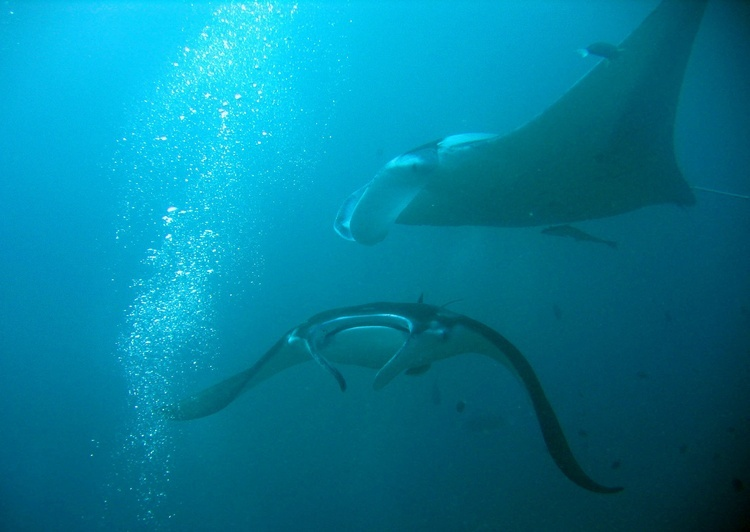 Manta rays in Yap