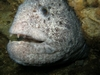Wolf Eel, Day Island Wall, Tacoma Narrows Bridge