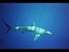 Galapagos Shark, Oahu, Hawaii