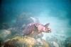 1st Sea Turtle. Cheeca Rocks in the Keys.